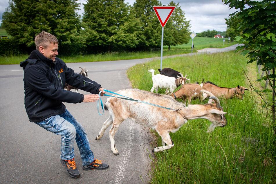 Tour-Teilnehmer Steve Schulz (40) will Ziegenbock Barnie (12) zurückhalten. Der stürzt sich auf das saftige Wiesengrün.