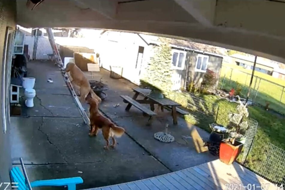 Security camera footage shows the golden retriever climbing the ladder.