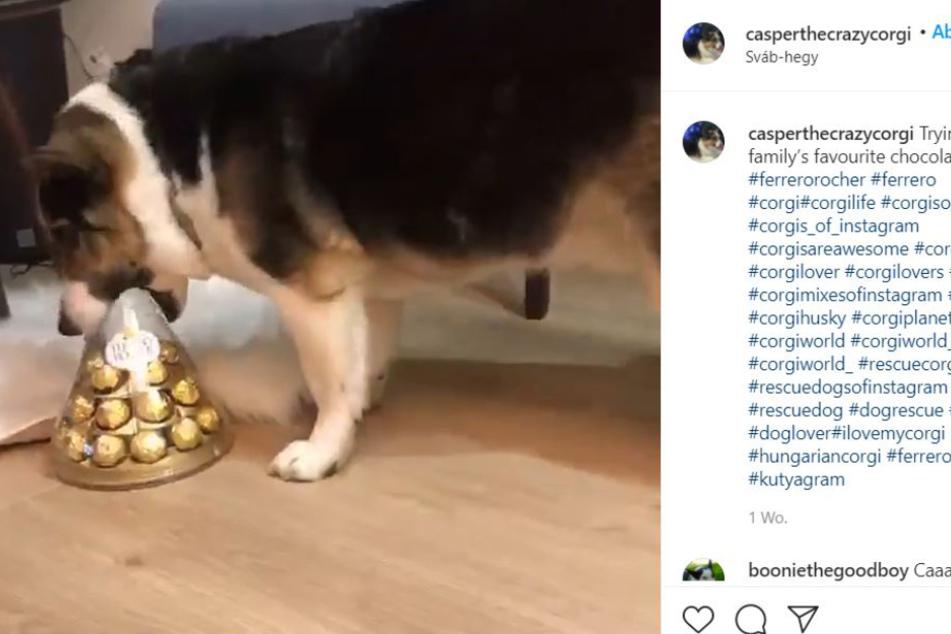 This corgi-husky mix tried desperately to get to his prey.