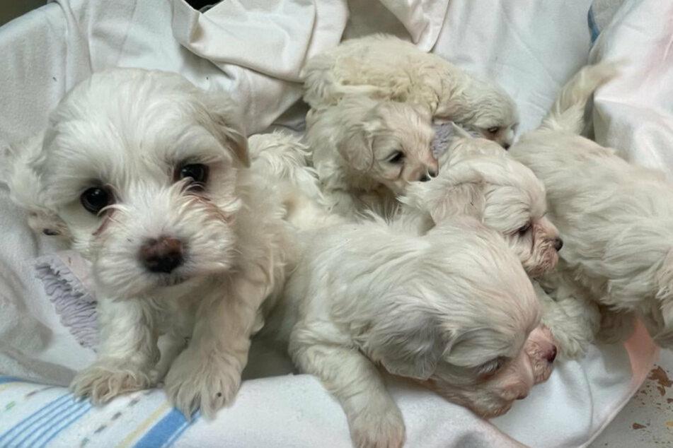 Im März wurden die Hundebabys in einem Transporter von der Polizei entdeckt. (Archiv)