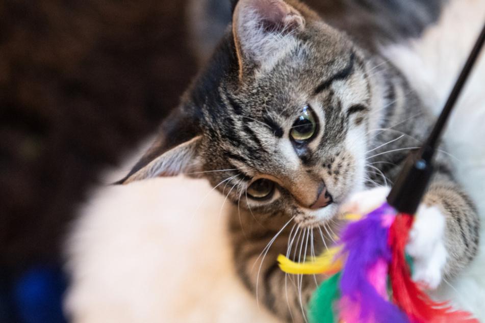 Dürfen unkastrierte Katzen bald nicht mehr aus dem Haus? (Symbolbild)
