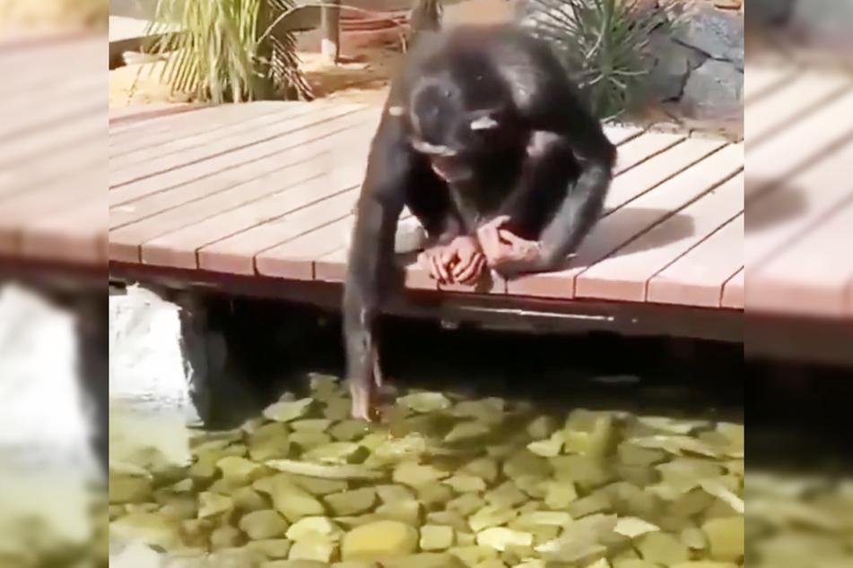 Der Schimpanse füttert die Fische von einer Brücke über flachem Gewässer.