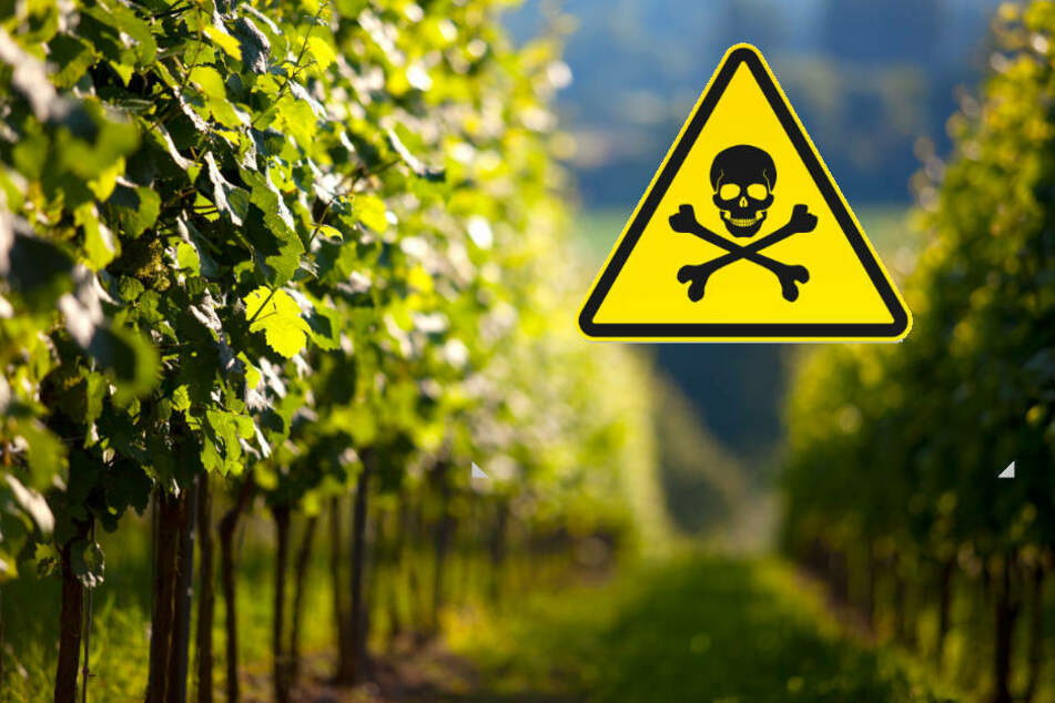 Die Polizei warnt eindringlich davor, die gespritzten Weinblätter zu verzehren (Symbolbild).