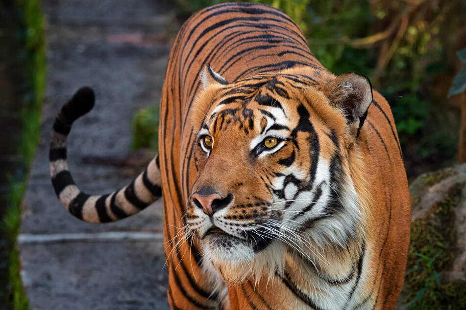 A tiger who was kept as a pet bit off a woman's hand (stock image).