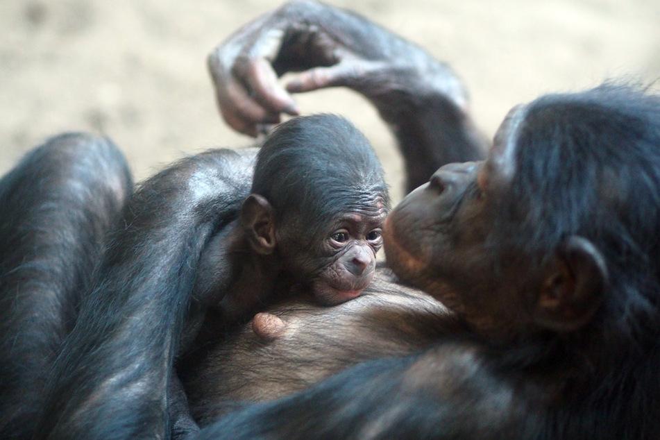Am 30. April erblickte ein Bonobo-Baby das Licht der Welt.
