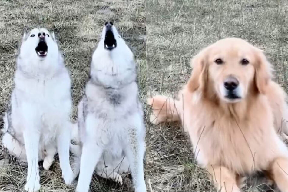 Who let the dogs out? Huskies embarrass their fellow pup with hilarious howling