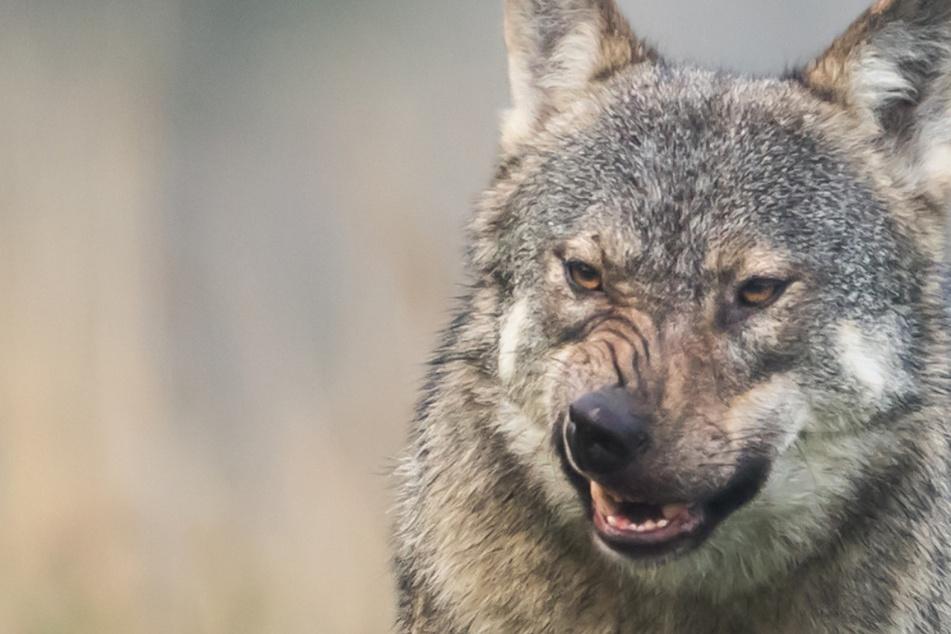 Dorfbewohner haben Angst: Wölfe beißen ihre Hunde und Katzen