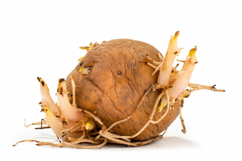 Im Dunklen gelagert, entwickeln Kartoffeln helle Triebe.