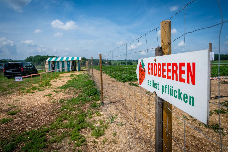 Hier geht's zum Erdbeer-Feld in Lichtenau, das seit dieser Woche geöffnet hat.