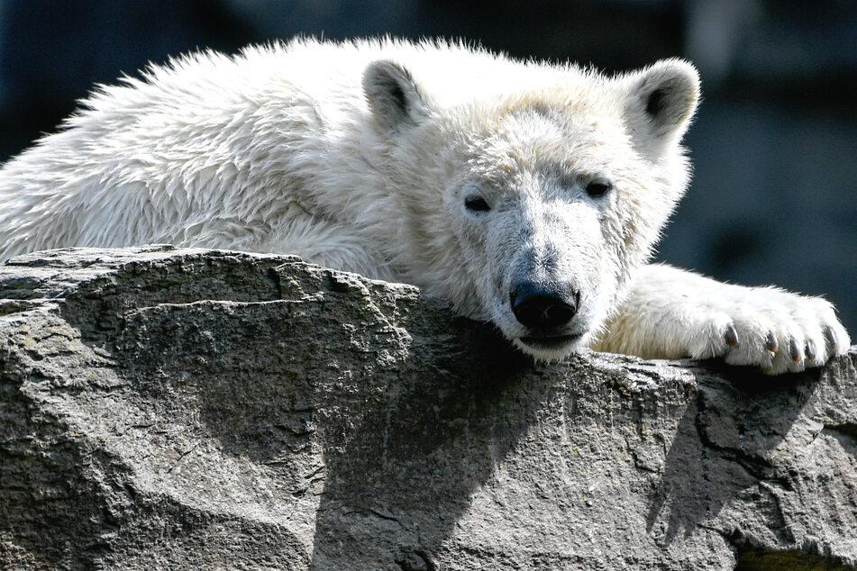 Schock im Tierpark: Inzucht-Enthüllung um Eisbärin Hertha!
