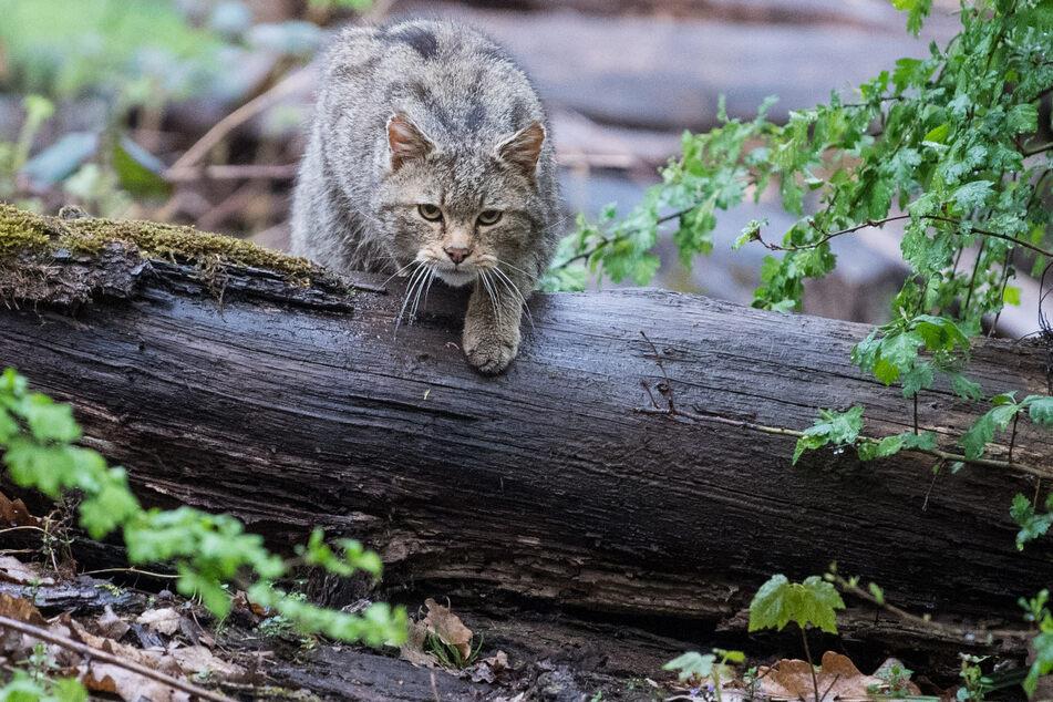 Eine Wildkatze läuft im Wildparadies Tripsdrill (Baden-Württemberg) über einen Stamm.