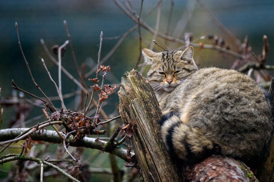 Fast überall ausgestorben: Hier erobern Wildkatzen ihren Lebensraum zurück