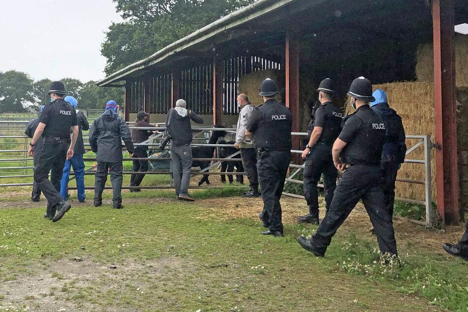 Alpaka Geronimos letzte Minuten auf der Shepherds Close Farm. Wenig später wurde das Tier an einen unbekannten Ort gebracht und dort getötet.