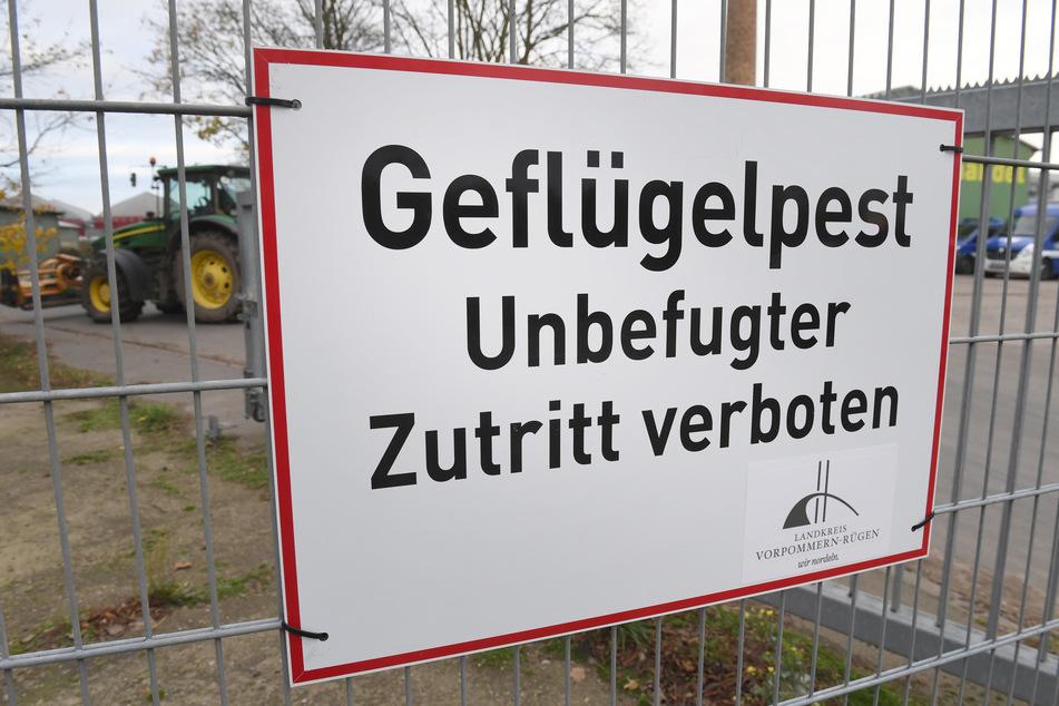 """Ein Schild mit dem Schriftzug """"Geflügelpest"""" hängt an einem Zaun eines Geflügelmastbetriebes. (Symbolbild)"""