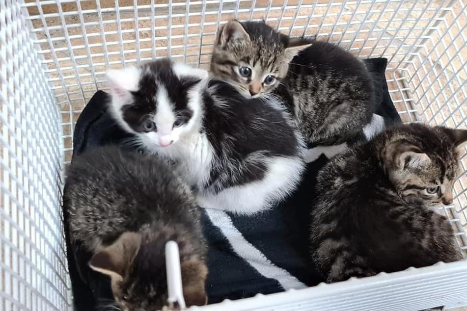 Kaum zu glauben: Diese vier Kitten waren vor Kurzem noch in einem Abflussrohr versteckt. Nun hat sie das Tierheim Delitzsch aufgenommen.