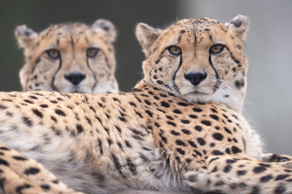 Da staunen die Geparden! Die Ticketpreise im Dresdner Zoo werden erhöht.