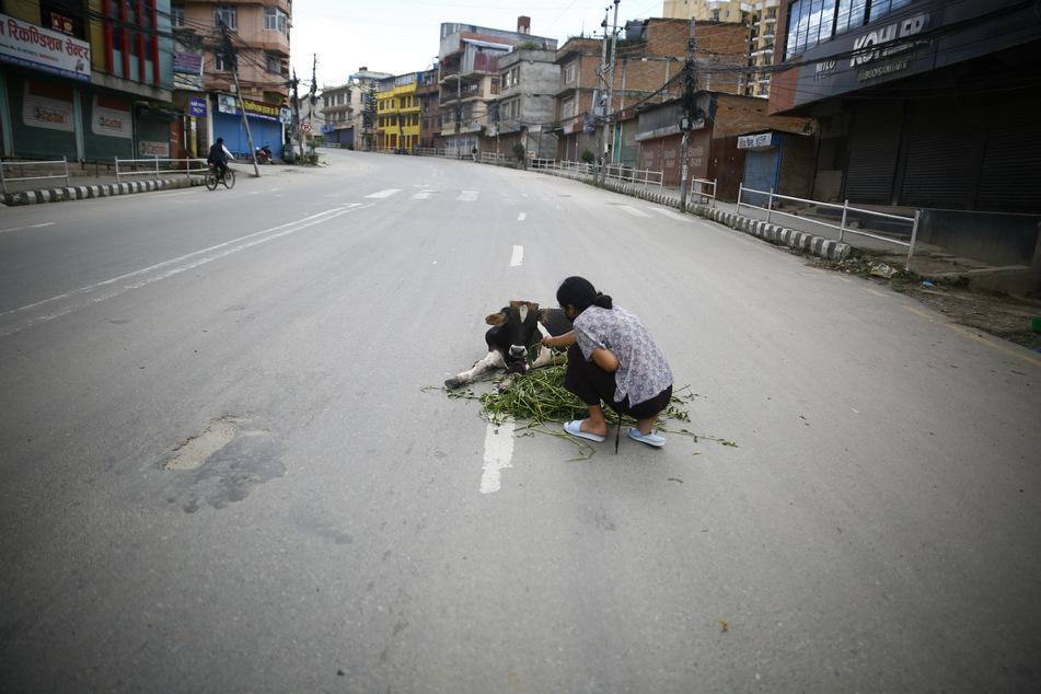 Eine Frau füttert auf einer leeren Straße in Kathmandu eine verletze Kuh, die von einem Fahrzeug angefahren worden ist.