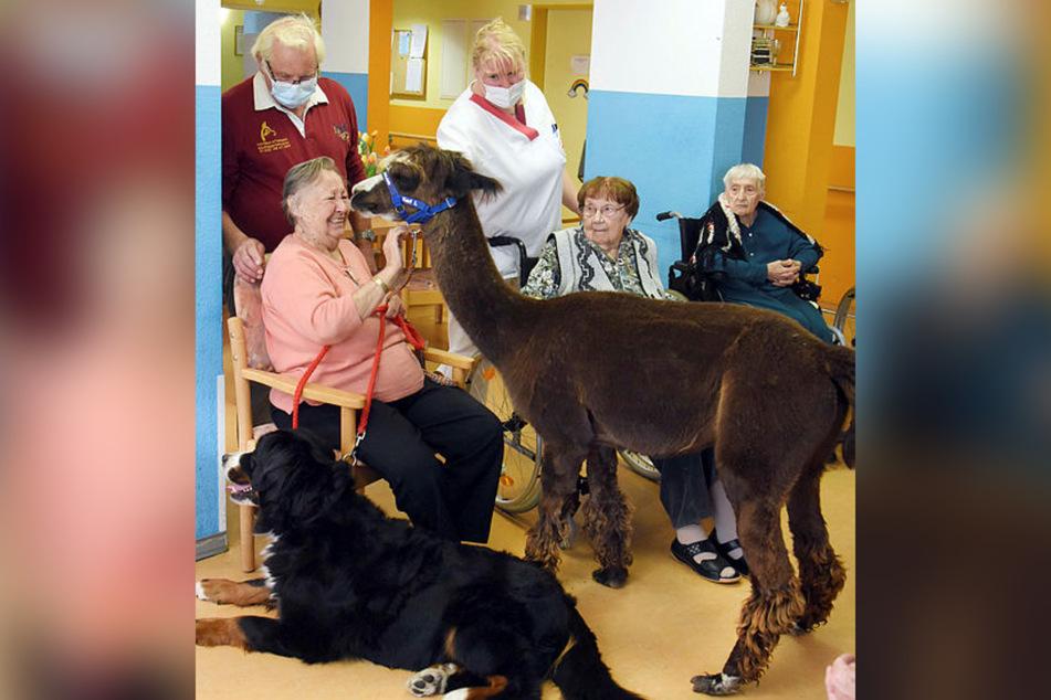 Schau mir in die Augen, Kleiner! Auch Annemarie Kießhauer (90) hat Spaß mit dem knuddeligen Alpaka.
