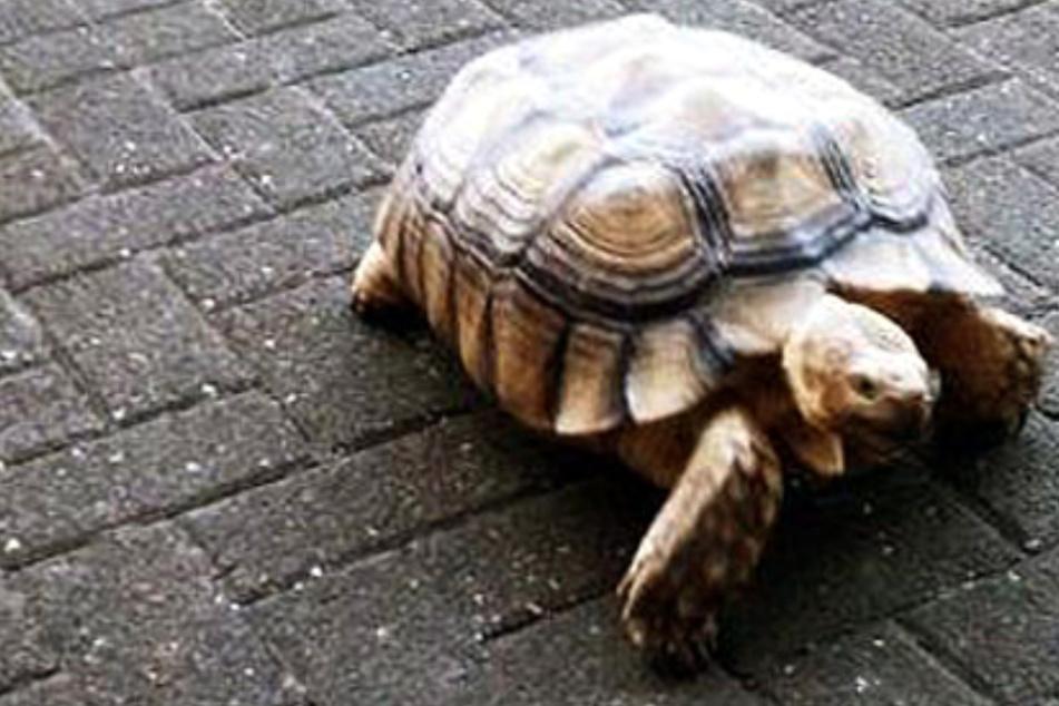 Langsam, aber oho: 30-Kilo-Schildkröte ruft Polizei auf den Plan