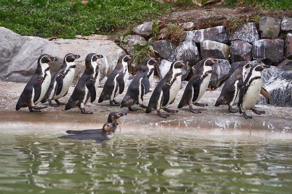 Pinguine watscheln im Zoo Neuwied durch ihr Gehege.