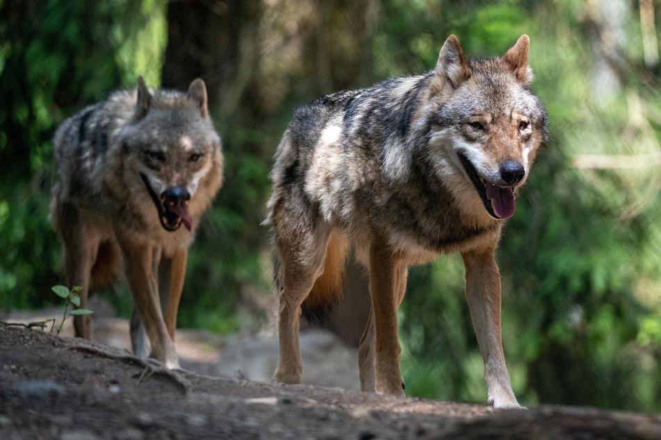 Wölfe streifen nicht mehr nur durch Wälder, sondern auch immer häufiger durch deutsche Großstädte. (Symbolbild)