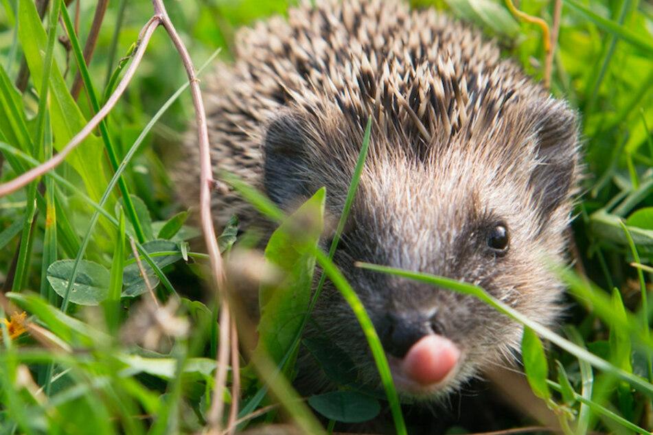 Rekordbeteiligung! Bayerns Tierfreunde zählen Zehntausende Igel im Land
