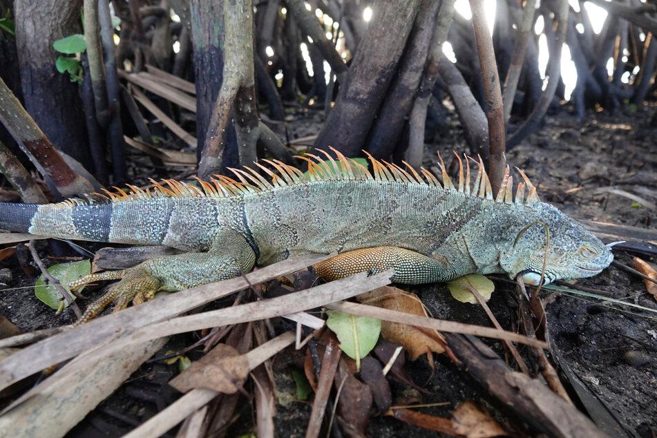Oakland Park: Ein Leguan liegt starr in den Mangroven im Stadtviertel Cherry Creek. Die Schuppenkriechtiere werden für die heimischen Ökosysteme zum Problem.