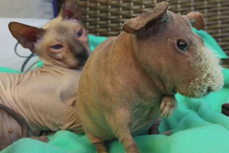 Haarloses Tier hält sich für Sphynx-Katze, aber was ist es wirklich?