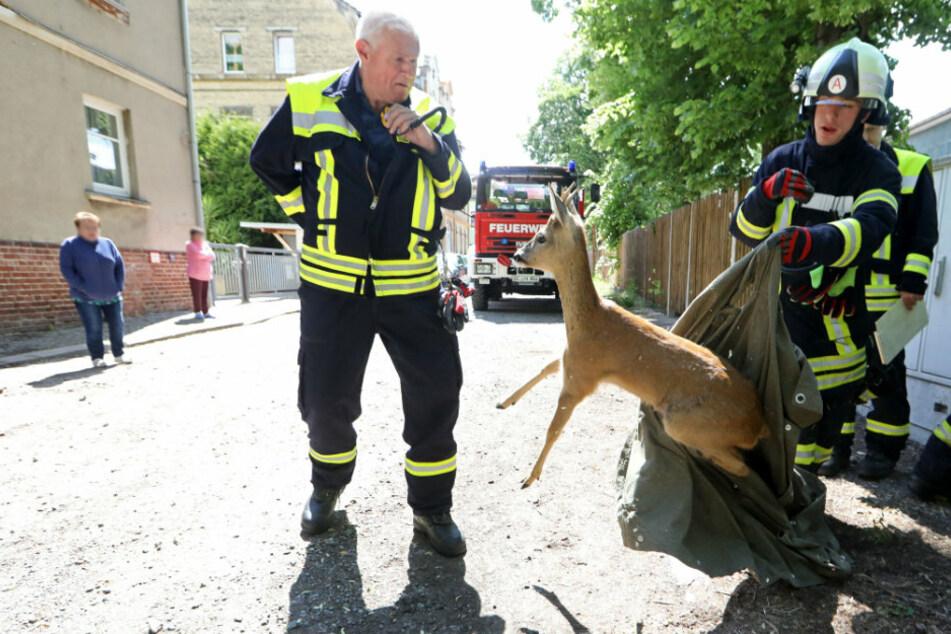 Feuerwehr rettet Rehbock aus Eisentor