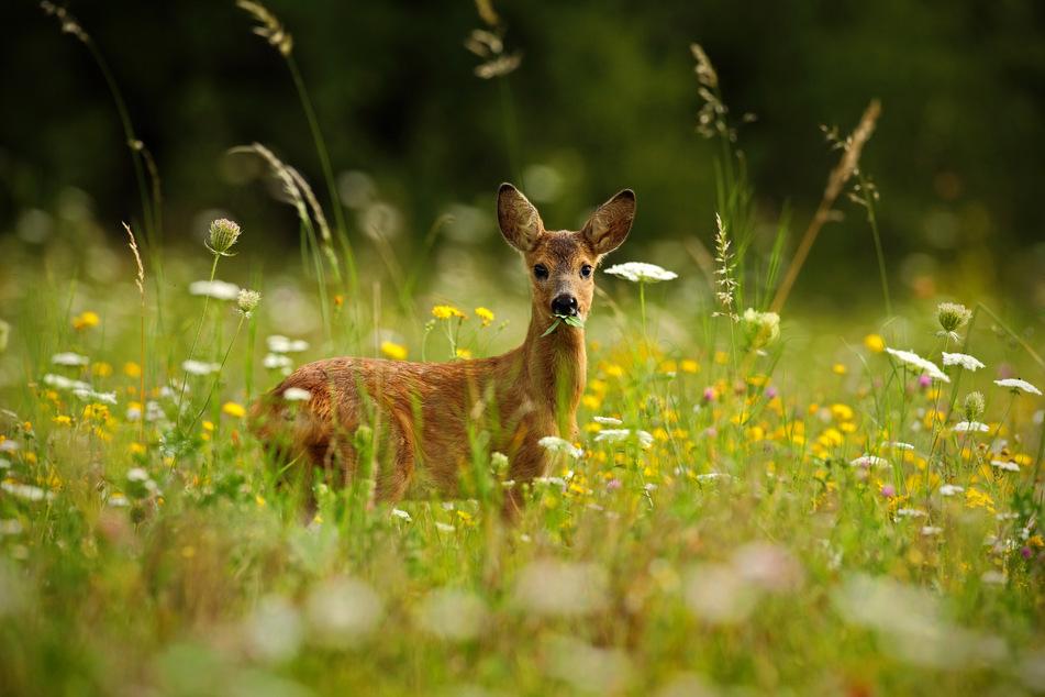 Ab Mitte April dürfen in Sachsen Rehwildböcke gejagt werden. Ihr Fleisch ist besonders zart und aromatisch und gilt als sehr bekömmlich.
