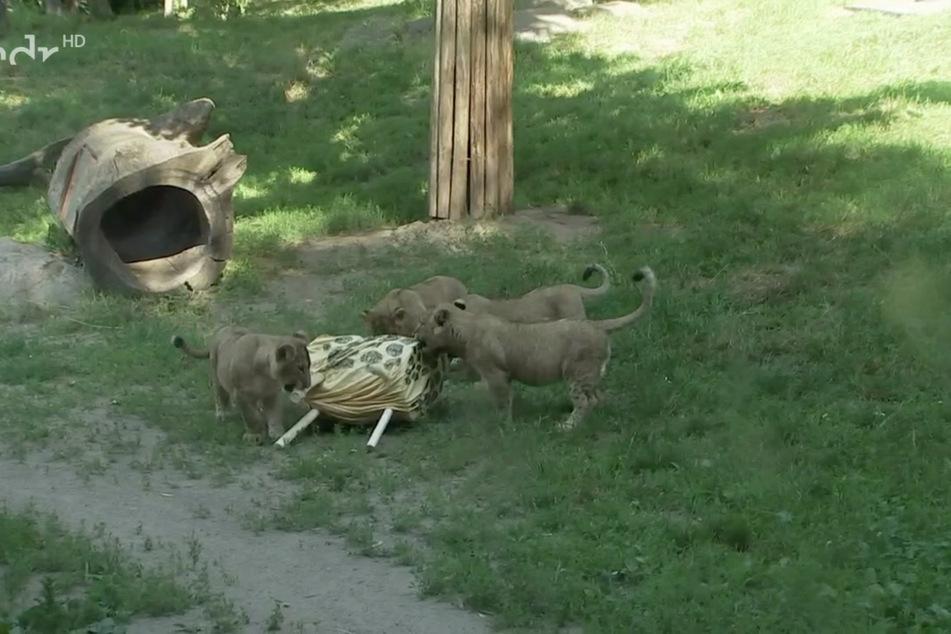 Als das komische Tier auf der Seite lag, trauten sich auch die anderen drei Löwenkinder heran.
