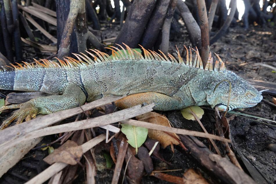 Leguan in der Toilette gefunden: Invasive Reptilien werden zum Problem