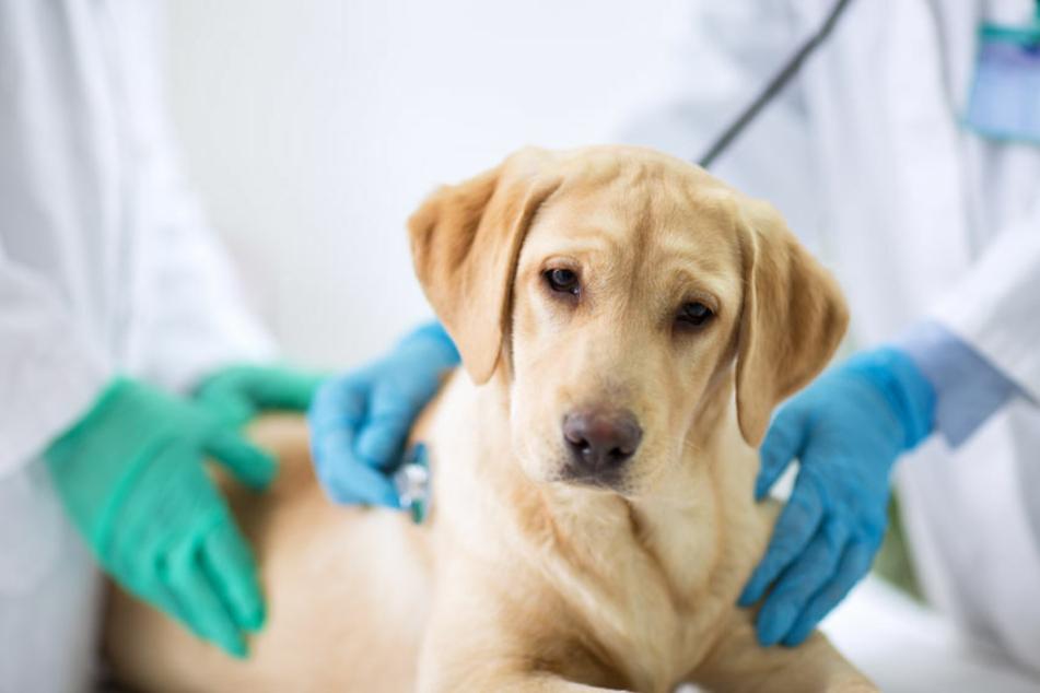 Trägt mein Hund das Coronavirus in sich? Viele Tierhalter sind derzeit beunruhigt.