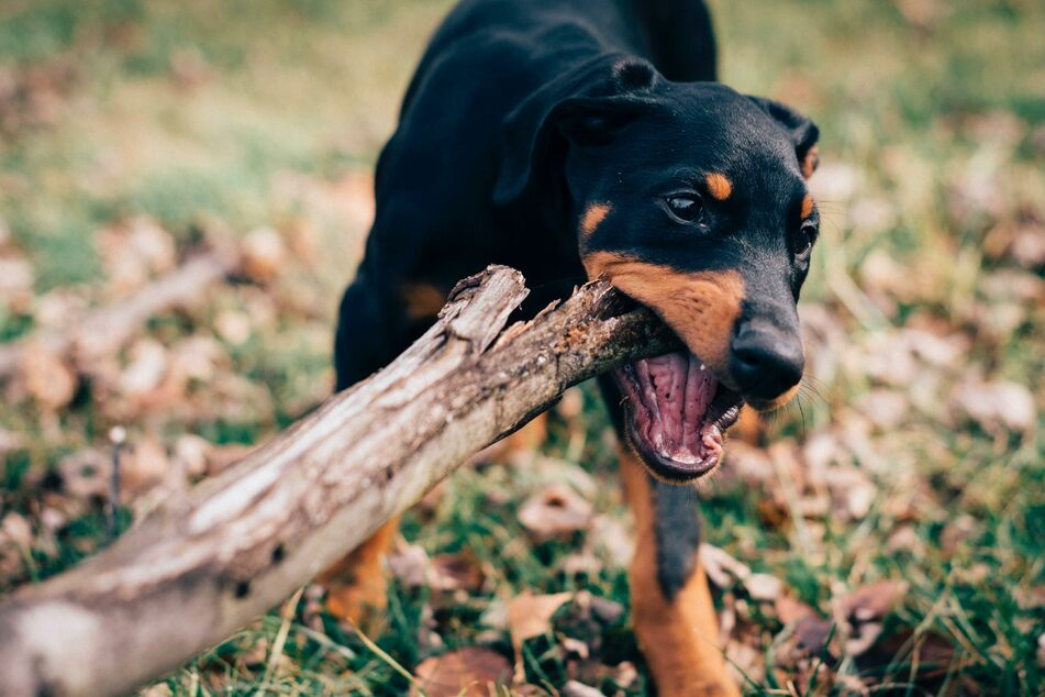 Hunde sollen ihr kräftiges Gebiss bis ins hohe Alter bewahren.