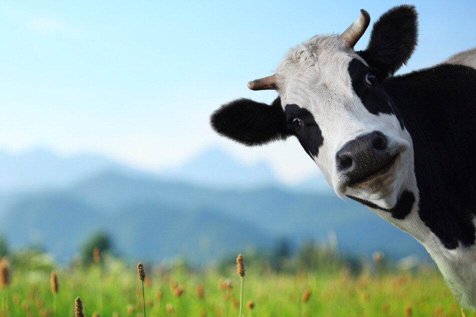 Cows have been trained to use a latrine in hopes of combating climate change (stock image).