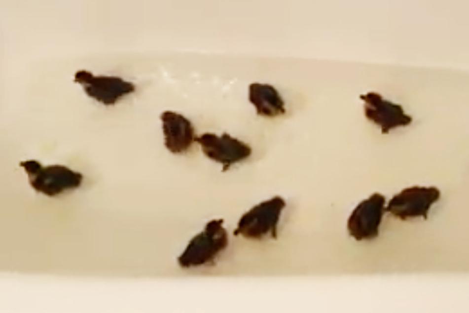 Enten-Babys verzweifelt: Ihre Mutter ist einfach verschwunden!