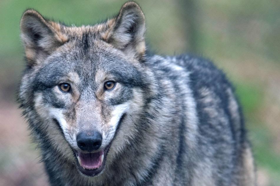 Wölfe: Riesa: Wolf verschanzt sich aus Angst auf Werksgelände