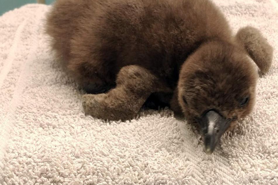 Flauschiger Zoo-Nachwuchs: Vom Aussterben bedrohte Brillenpinguine geschlüpft