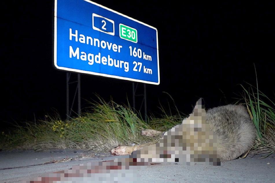 Der Fahrer des Sattelzugs erfasste den Wolf trotz Bremsung, wobei dieser tödlich verletzt worden ist.