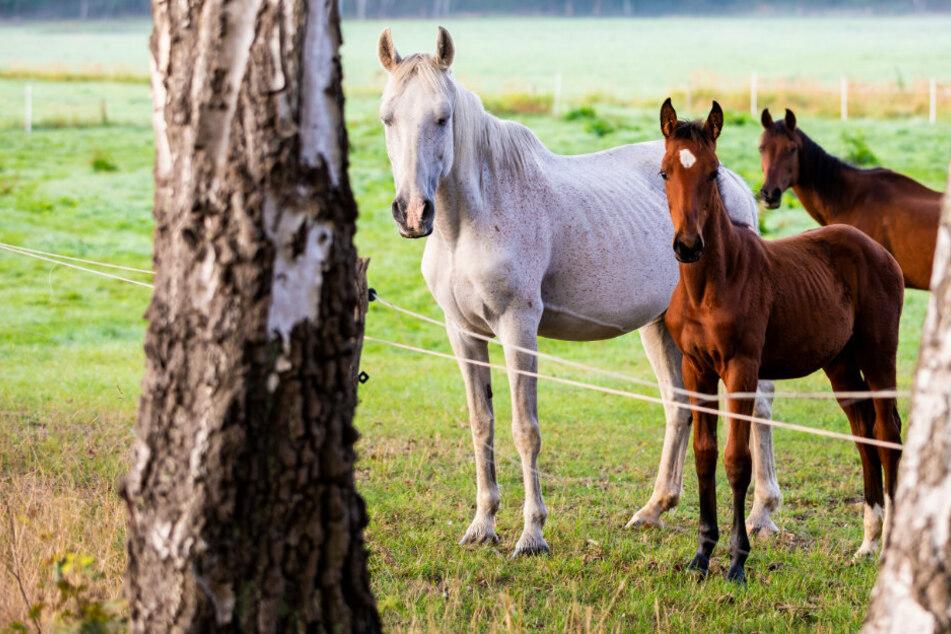 Berlin: Tiere wohl mit Messer verletzt: War hier ein irrer Pferde-Ripper am Werk?