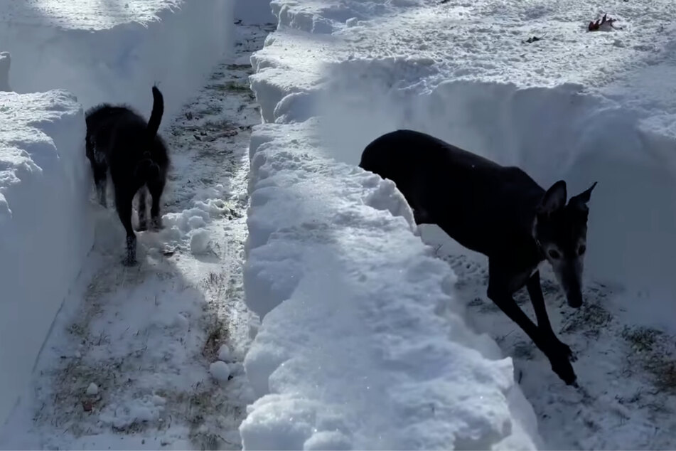New Yorker builds his dogs a snow maze