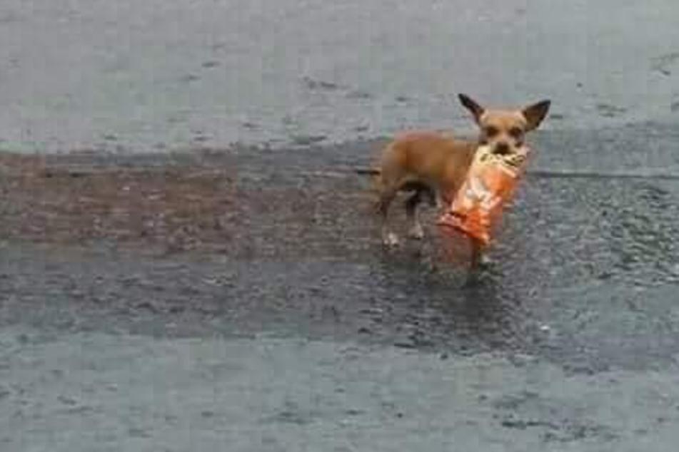 Der kleine Chihuahua brachte seinem Herrchen bisher immer die richtige Packung Chips.