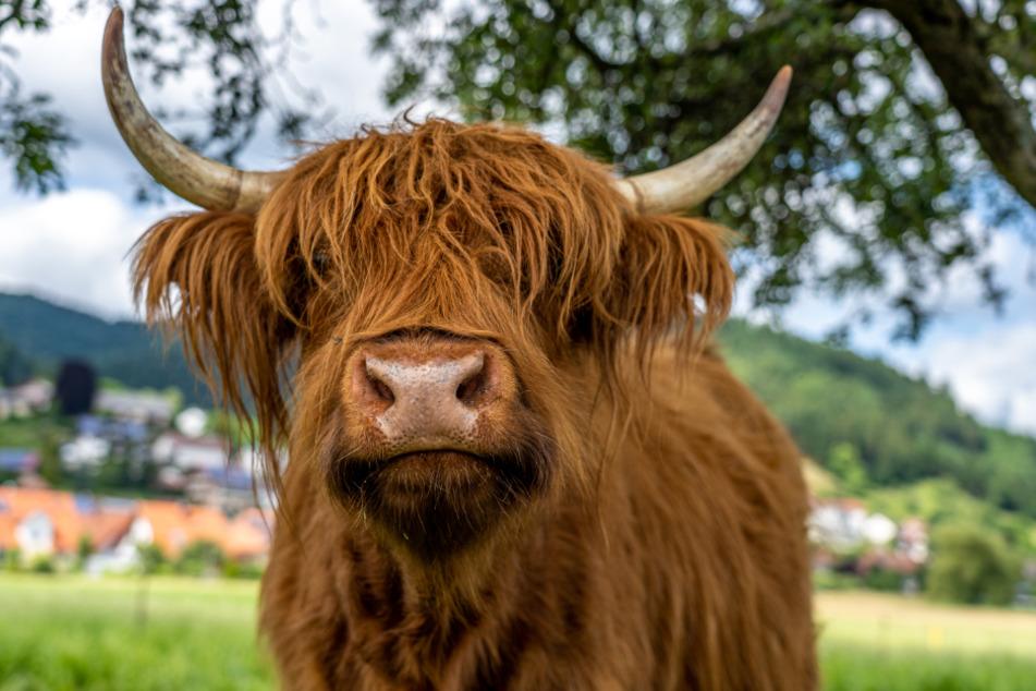 Das Tier soll zuvor einem anderen Rind gegenüber auch schon aggressiv aufgetreten sein (Symbolbild).