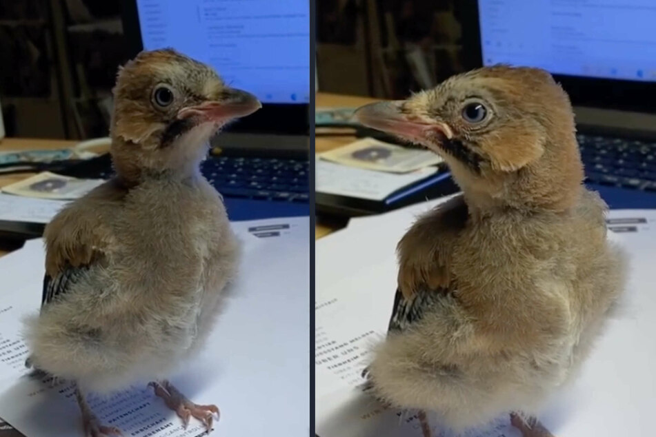 """Vogel """"Herbert"""" war aus seinem Nest geplumpst. Nun ist er beim Tierheim Köln-Dellbrück vorübergehend als Bürokraft eingestellt."""