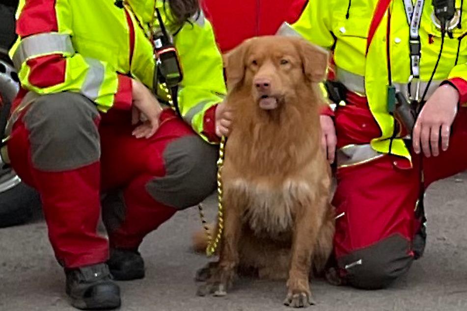 Retriever Koda wurde am Donnerstagmorgen zum Helden: Der Rettungshund entdeckte einen verschwundenen Senior aus Döbeln.