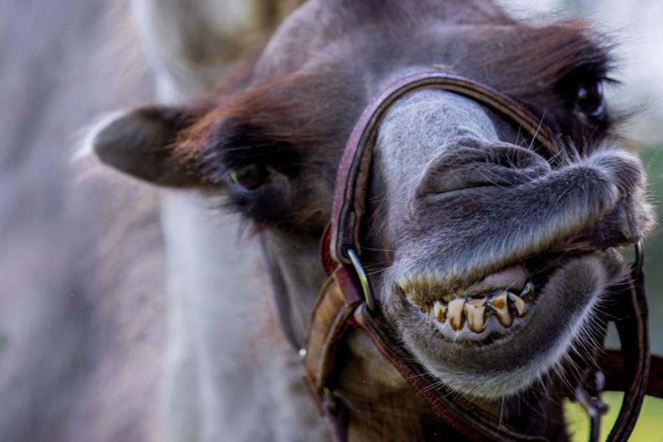 Dramatische Szenen: Kamel beißt Frauen, eine landet in Klinik!