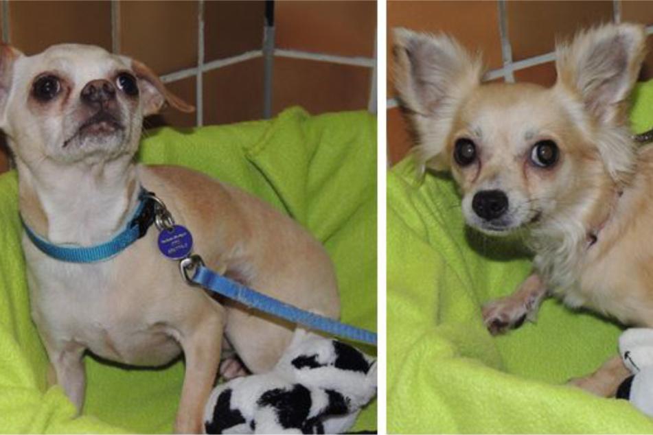 """Chihuahua-Mix Rici und Fuchsi wurden übel traumatisiert! """"Panikhunde"""" brauchen Hilfe"""