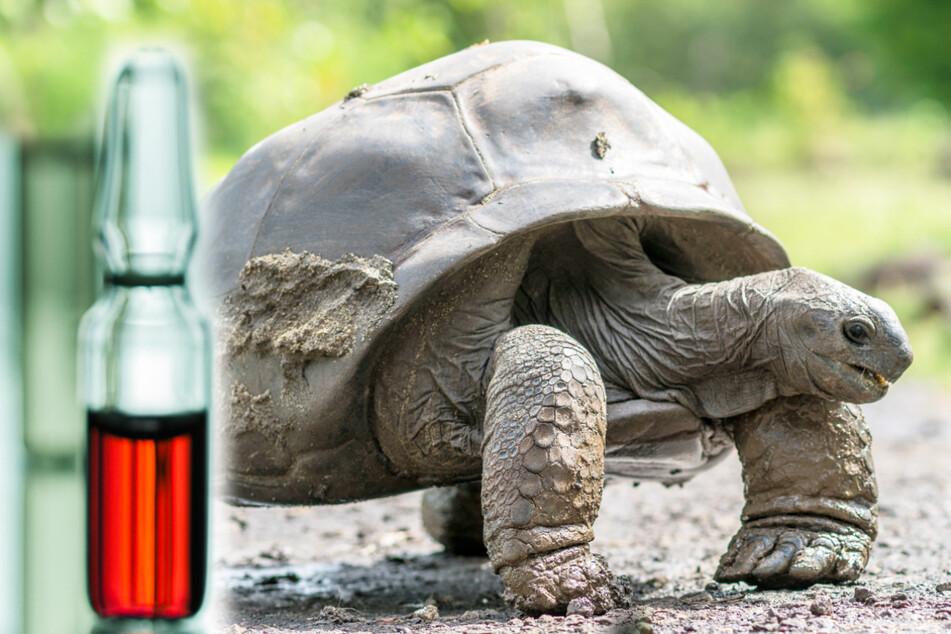 Schildkrötenblut vom Schamanen soll vor Covid-19 schützen: Baby tot