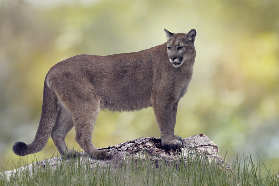 A man found an injured cougar in his backyard (stock image).
