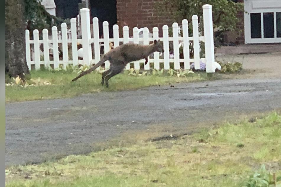 Känguru auf der Flucht! Polizei sucht nach Zeugen
